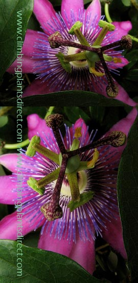 2XPassion+flower+%2D+Passiflora++x++Voileacea++EVERGREEN+with+glossy+green+leaves%2E+Attractive+to+bumble+bees%2E+This+Hardy+Perennial+Climber+has+been+container+grown+so+can+be+planted+at+any+time+of+the+year%2E+