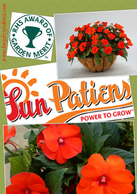SunPatiens%AE+Electric+Orange+X+5+Jumbo+Plug+Plants%2E+DELIVERY+%2D+MAY+ONWARDS