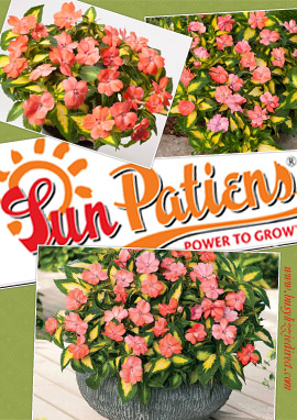 SunPatiens%AE+Salmon+Variegated+X+5+Jumbo+Plug+Plants%2E+DELIVERY+%2D+MAY+ONWARDS