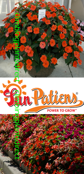 SunPatiens%AE+Vigorous+Orange+X+5+Jumbo+Plug+Plants%2E+DELIVERY+%2D+MAY+ONWARDS