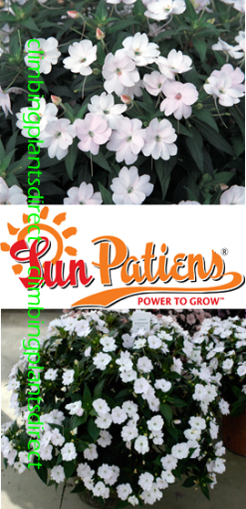 SunPatiens%AE+Vigorous+White+X+5+Jumbo+Plug+Plants%2E+DELIVERY+%2D+MAY+ONWARDS