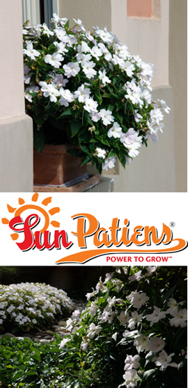 SunPatiens%AE+Compact+White+X+5+Jumbo+Plug+Plants%2E+DELIVERY+%2D+MAY+ONWARDS