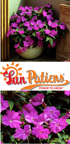 SunPatiens%AE+Compact+Lilac+X+5+Jumbo+Plug+Plants%2E+DELIVERY+%2D+MAY+ONWARDS