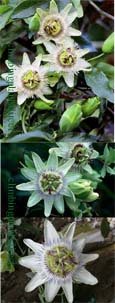 2 x Passiflora 'White Lightning' - HARDY White passion flower- EXOTIC FLOWERS & ORANGE FRUITS. This Hardy Perennial Climber has been container grown so can be planted at any time of the year. We despatch WITH container.