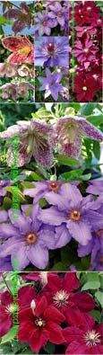 Multi-Buy Offer Pick-n-Mix-Climbing Plants/Shrubs