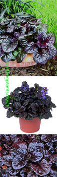 2 x Ajuga reptans 'Black Scallop' - Rockery or Ground cover perennials. Extremely hardy shrub which has been container grown so can be planted at any time of the year. Despatched WITH pot so the roots are safe.