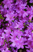 Azalea 'Mollis Purple'- A NEW Hardy Perennial Flowering Shrub. This hardy shrub has been container grown so can be planted at any time and will reward you all year round. We despatch WITH container so the roots are safe.