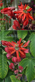 Climbing Plants - Passion Flowers