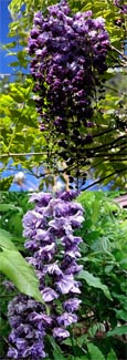 LARGE 90cm + Wisteria sinensis 'Black Dragon' - DOUBLE FLOWERING WISTERIA WITH DOUBLE DARK BLUE FLOWERS