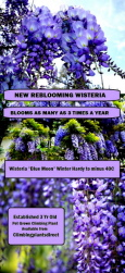 New for 2018 - Wisteria 'Blue Moon' Blooms as many as 3 times a year and Winter Hardy to -40C. Scented Flowers.