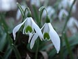 Snowdrops - 'Galanthus' - Beautiful Pure Snowy White with  Delicate Flowers -*Commercial size bulbs NOT small pre-packs*