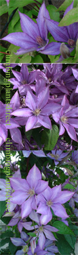 Clematis 'Dorothy Walton' - RICH AND INTENSE  EXQUISITE LARGE FLOWERING CLIMBER superb for containers. This Hardy Perennial Climber has been container grown so can be planted at any time of the year. We despatch WITH container so the roots are safe