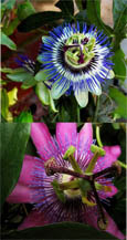 Climbing Plants x 2 Offer- Passion Flower Promotion - Hardy Plants with Exotic Flowers and EVERGREEN GLOSSY FOLIAGE