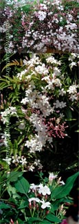 2 x LARGE 70cm+ Jasmine 'Officinale' - HARDY PERENNIAL CLIMBER- HEAVENLY SCENTED WHITE FLOWERS. This Hardy Perennial Climber has been container grown so can be planted at any time of year.