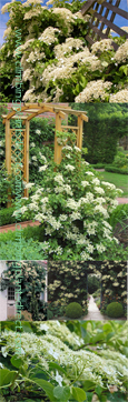 LARGE 50cm+ Hydrangea 'Petiolaris' - Low Maintenance Climbing Plant. Will grow from full sun to full shade including a North Wall
