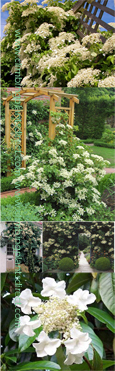 LARGE 50cm+ Climbing Evergreen Hydrangea 'Seemanii' - Evergreen Foliage and Scented Flowers. South, East, West and North Facing aspect.
