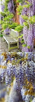 LARGE 70cm+ Wisteria Floribunda 'Burford'' - BLUE FLOWERING WISTERIA WITH VIOLET BLUE FLOWERS
