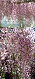 LARGE 70cm +  Wisteria floribunda Pink Ice -  Japanese Wisteria - THIS HARDY CLIMBING PLANT TAKES YOUR BREATH AWAY WITH STUNNING  LONG SCENTED CHAINS OF PINK FLOWERS.