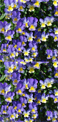 5 X Trailing Pansy (Viola Hybrid) Friolina Blue & Gold *READY NOW*