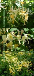 2 x Honeysuckle - Lonicera periclymenum 'Graham Thomas'-RHS RGM - VERY LONG FLOWERING PERIOD - SCENTED FLOWERS TOO. This Hardy Perennial Climber is  container grown and is best planted September to May