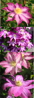 Clematis 'Starburst' New Introduction - Scented flowers as vine matures. This Hardy Perennial Climber has been container grown so can be planted at any time of the year. We despatch WITH container so the roots are safe.