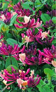 Evergreen Climbing Plants - Honeysuckle  Lonicera japonica 'Darts World' (also known as Red World)-  SCENTED FLOWERS. HARDY.  ONE OF THE BEST NEW ALL-ROUND CLIMBING PLANTS INTRODUCED! This Evergreen is best planted September to May