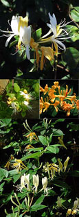 1 x Honeysuckle - Lonicera japonica 'Halliana' - EVERGREEN FOLIAGE & VERY LONG FLOWERING PERIOD - SCENTED FLOWERS TOO. This Hardy Perennial Climber is  container grown and is best planted September to May. We despatch WITH container so roots are safe