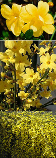 Jasminum 'nudiflorum' - Winter Jasmine - Easy to Grow - A burst of sunshine when you need it most -  mid-winter.