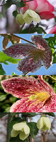 Climbing Plants x2 Offer- Clematis cirrhosa 'Jinlge Bells' and Clematis cirrhosa 'Freckles'' - SIMPLY TWO OF THE BEST EVERGREEN & SCENTED CLEMATIS!
