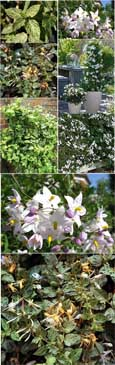 MINT AND CREAM EVERGREEN COLLECTION - 2 Plant Collection Mint Crisp & Solanum Alba - AVAILABLE FROM JULY