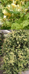 2X Evergreen  Climbing Plant - Honeysuckle - Lonicera  'Mint Crisp' evergreen cream and green speckled variegated foliage and fragrant flowers.Hardy Climbing honeysuckles which have been container grown so can be planted at any time of year