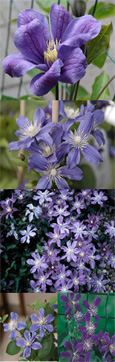 2 x Clematis 'Arabella' - Perfect for patio containers. This Hardy Perennial Climber has been container grown so can be planted at any time of the year. We despatch WITH container so the roots are safe.