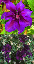 2 x Clematis 'Burma Star' STRIKING COLOUR COMBINATION for Patio Containers. Thrives in every aspect.This Hardy Perennial Climber has been container grown so can be planted at any time of the year. We despatch WITH container so the roots are safe.