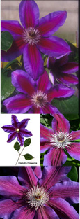 2 x Clematis 'Fireworks' - WOW LOOK AT ME, I'M NOT SHY! This Hardy Perennial Climber has been container grown so can be planted at any time of the year.  We despatch WITH container so the roots are safe.
