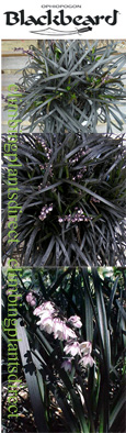 Black Grass 'Ophiopogon Black Beard' - VERY HARDY evergreen perennial.