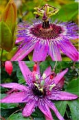 2XPassion flower - Passiflora 'Purple Rain'  EVERGREEN with glossy dark green leaves. This Hardy Perennial Climber has been container grown so can be planted at any time of the year.