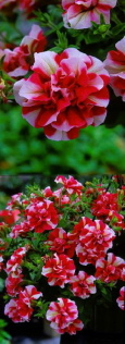 Surfinia & Trailing Petunias Tumbelina Rosy Ripple - DELIVERY - READY NOW W  /  C 060420