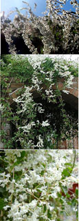 3x Russian Vine - Mile-A-Minute Vine. (Fallopia baldschaunica also known as Polygonum baldschuanicu). This Hardy Perennial Climber has been container grown so can be planted at any time of the year. We despatch WITH container so roots are protected.