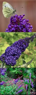 Buddleja 'Adonis Blue' - NEW ENGLISH BUTTERFLY SERIES Dwarf Buddleja with Long Fragrant Flower Spikes