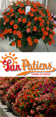 SunPatiens® Vigorous Orange X 5 Jumbo Plug Plants. DELIVERY - MAY ONWARDS