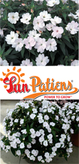 SunPatiens® Vigorous White X 5 Jumbo Plug Plants. DELIVERY - MAY ONWARDS