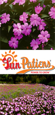 SunPatiens® Vigorous Lavender X 5 Jumbo Plug Plants. DELIVERY - MAY ONWARDS