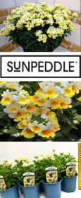 Sunpeddle Yellow White - DELIVERY - READY NOW W  /  C 060420