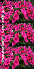 5 X Surfinia Trailing Petunia Hot pink Plug Plants - DELIVERY - MAY ONWARDS