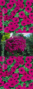 5 X Surfinia Trailing Petunia Purple Plug Plants - DELIVERY - MAY ONWARDS