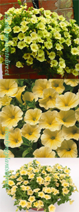 5 X Surfinia Trailing Petunia Victorian Yellow Plug Plants - DELIVERY - MAY ONWARDS
