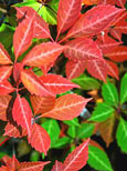 Parthenocissus quinquefolia - 'Virginia Creeper' - EASY TO GROW SHOWSTOPPER!  Masses of lush foliage from early spring right through to early winter & an AWARD WINNER too! - RHS AGM . This Hardy Perennial Climber can be planted at any time of the year.