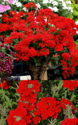 Verbena Temari Red ' - DELIVERY - READY NOW W / C 060420