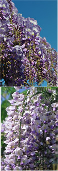 Wisteria floribunda 'Issai' Japanese Wisteria - THIS HARDY CLIMBING PLANT TAKES YOUR BREATH AWAY WITH STUNNING  LONG SCENTED CHAINS OF LILAC PURPLE FLOWERS.